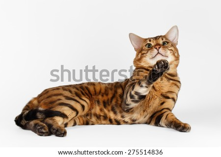 Bengal Cat lies on White background and Looking in camera