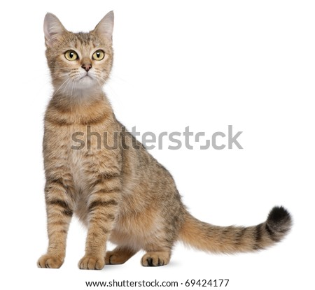 Bengal cat, 19 months old, sitting in front of white background - stock photo