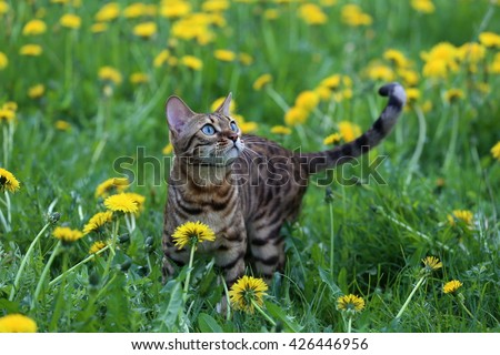 bengal cat on green meadow - stock photo