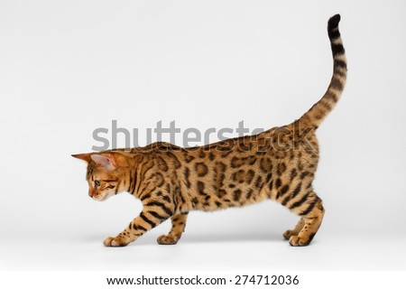 Bengal Cat playful walking on White background  - stock photo