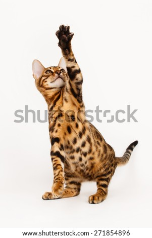 Bengal Cat playing - stock photo