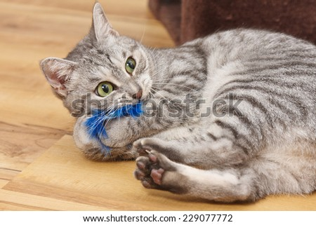 Bengal cat playing with a blue fluffy toy  - stock photo