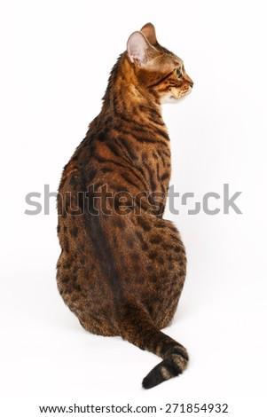 Bengal Cat profile shot - stock photo