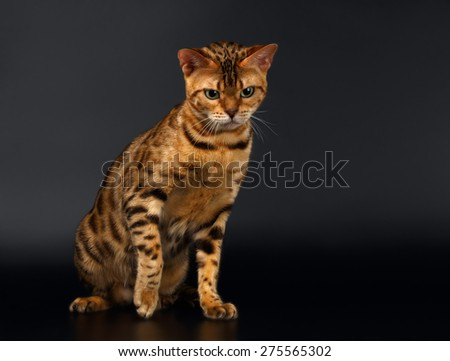 Bengal Cat Sits and Looking down on Black Background  - stock photo