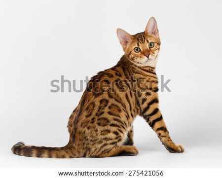 Bengal Cat Sits on White background and Looking in camera - stock photo