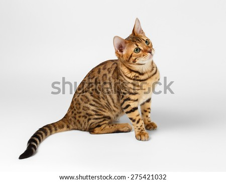 Bengal Cat Sits on White background and Looking up - stock photo