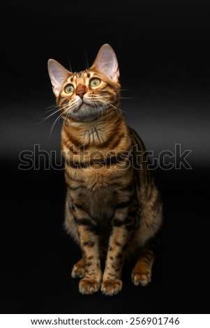 bengal cat sitting on black background and looking up - stock photo