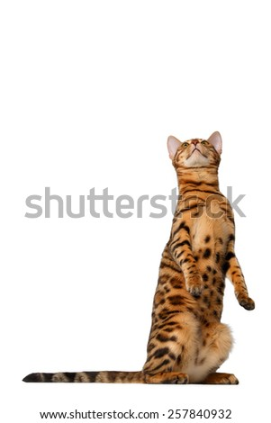 bengal cat stand and looking up on white background