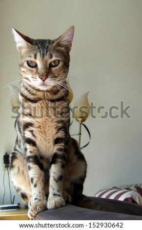 Bengal cat taken at home front view - stock photo