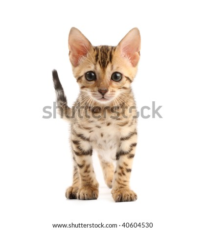 Bengal kitten - stock photo