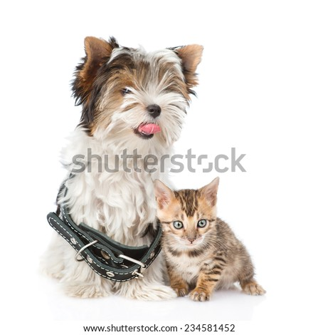 Bengal kitten and Biewer-Yorkshire terrier puppy with collar sitting together. isolated on white background - stock photo