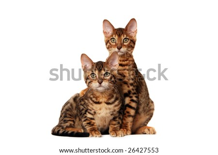 Bengal kitten hugging his brother - stock photo
