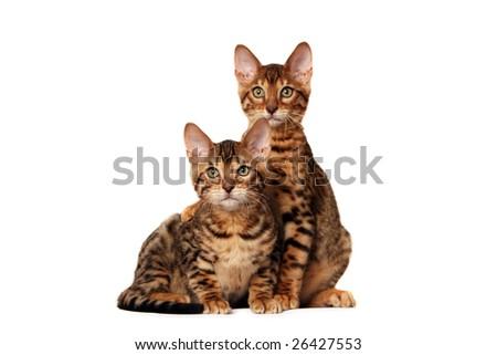 Bengal kitten hugging his brother - stock photo