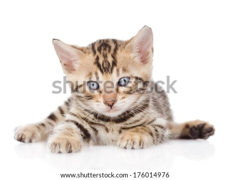 bengal kitten looking at camera. isolated on white background