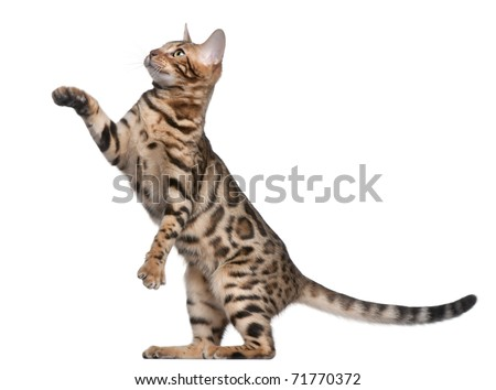 Bengal kitten, 5 months old, in front of white background - stock photo