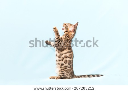 Bengal kitten playing on a blue background
