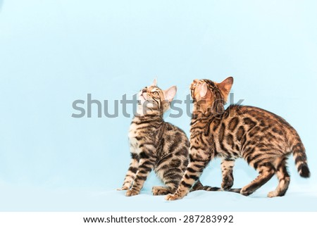 Bengal kitten playing on a blue background - stock photo