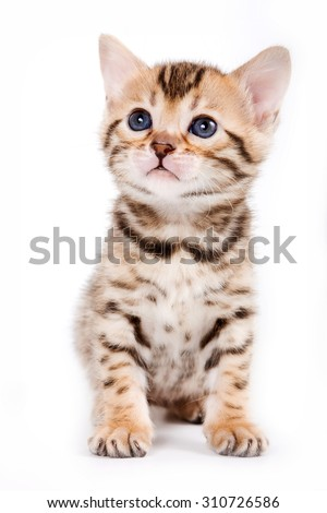 Bengal kitten sitting and looking up (isolated on white) - stock photo