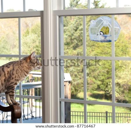 Bengal kitten watching chickadee bird on birdfeeder through window from chair - stock photo
