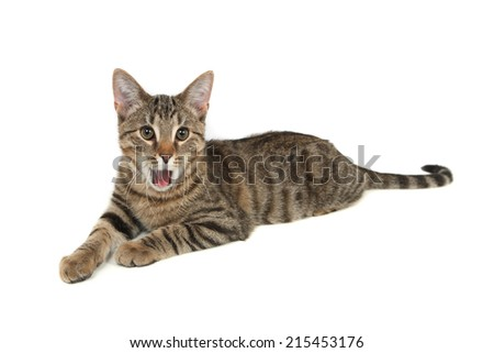 Bengal kitten yawning with its mouth wide open - stock photo