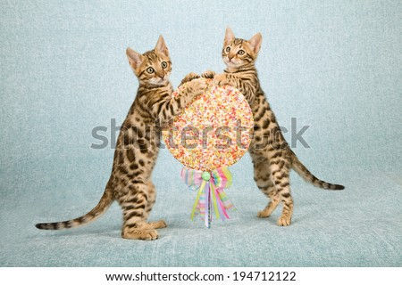 Bengal kittens holding onto over sized fake faux lollipop on light blue background  - stock photo