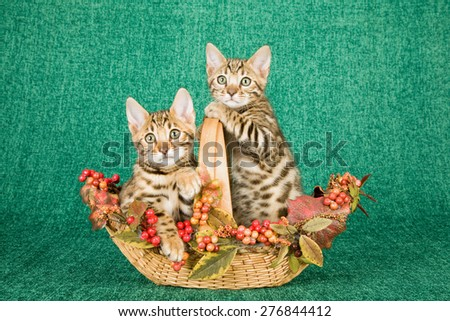 Bengal kittens sitting inside Fall Autumn decorated basket on green background  - stock photo
