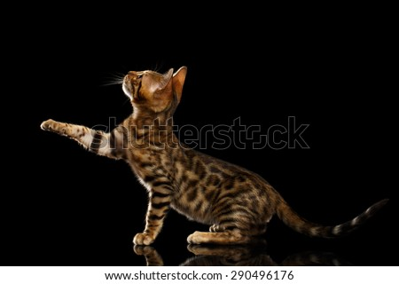 Bengal Kitty Sits and Raising Up Paw on Black Background  - stock photo