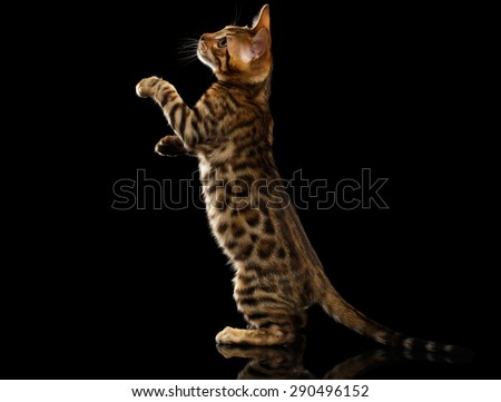 Bengal Kitty Stands and Raising Up Paws on Black Background  - stock photo