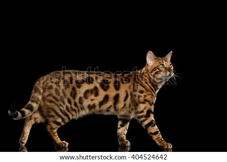 Bengal Male Cat Walking on Black Isolated Background and Looking up, Side view - stock photo