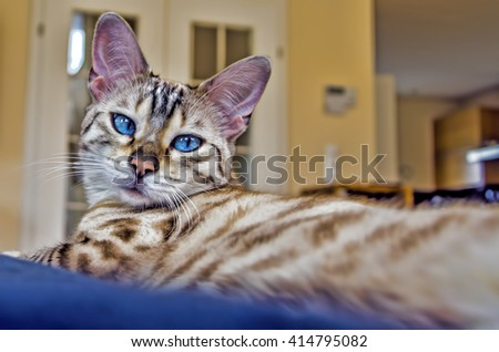 bengal super beauty cat  blue eye