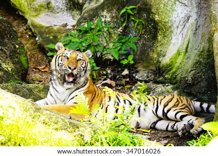 Bengal Tiger:close up and selective focus with shallow depth of field.