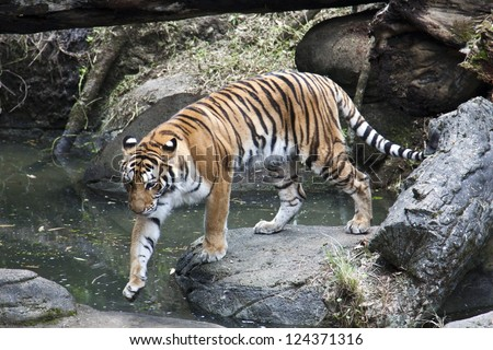 bengal tiger display in natural habitat,Panthera tigris tigris - stock photo