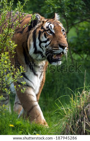 Bengal Tiger emerging from green foliage/Bengal Tiger/Bengal Tiger - stock photo