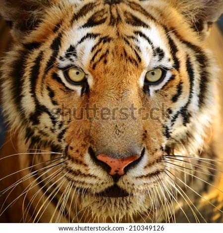 Bengal tiger face full frame - stock photo