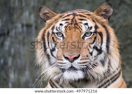 Bengal Tiger face in forest show big head