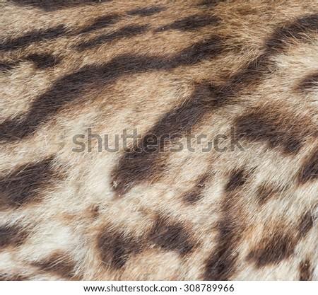 Bengal Tiger fur pattern - stock photo