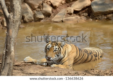 Bengal Tiger in a waterhole. - stock photo