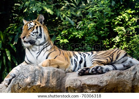 Bengal tiger in a zoo staring at something - stock photo