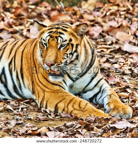 Bengal tiger in Bandhavgarh National Park, India - stock photo