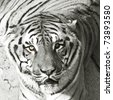 Bengal tiger in black and white - stock photo
