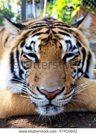 Bengal Tiger in relaxed and comfortable position. close up shot at face. - stock photo