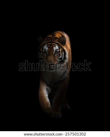 bengal tiger is on the prowl in the dark - stock photo