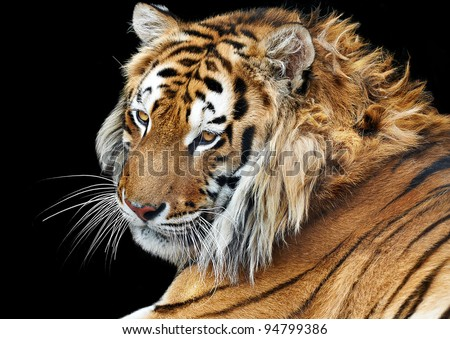 Bengal tiger isolated black background