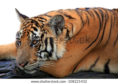 Bengal tiger isolated white background - stock photo