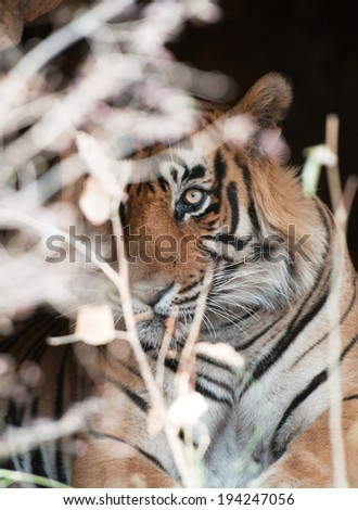 Bengal tiger looking out of a bush - national park ranthambore in india - rajasthan - stock photo