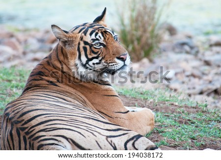 Bengal tiger lying in the grass in the national park ranthambore in india - rajasthan - stock photo