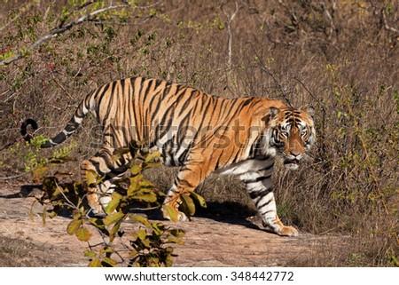 Bengal tiger, Panthera tigris tigris - stock photo