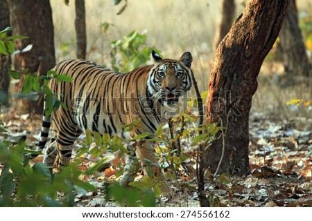 Bengal Tiger (Panthera Tigris Tigris) Walking in Forest, Looking into the Camera, Bandhavgarh, India - stock photo
