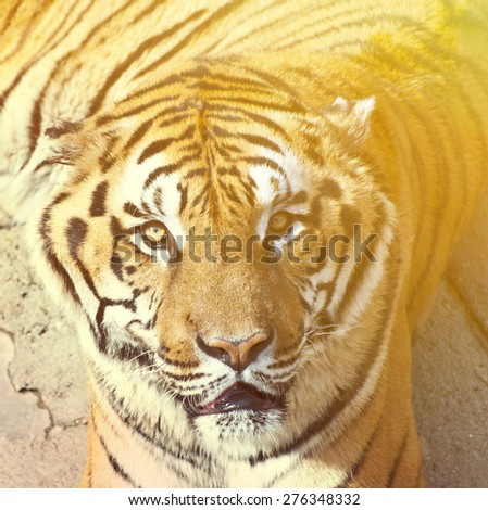 Bengal tiger portrait  - stock photo