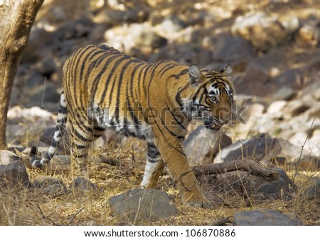 Bengal tiger, Ranthambore National Park, strides through the bush - stock photo